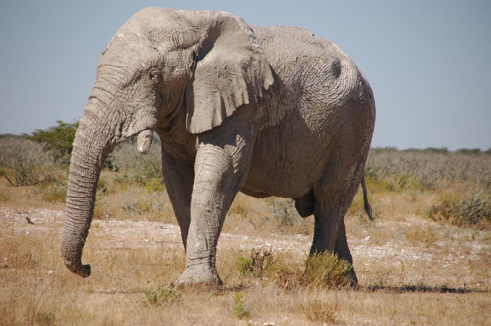 Elephant (der Senior)