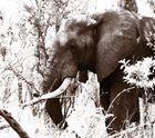 :: elephant ::