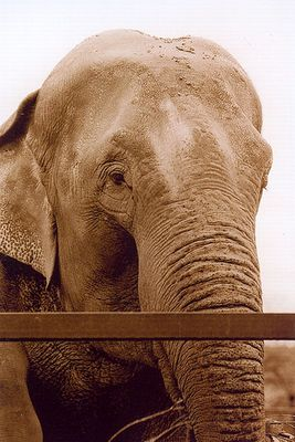 Elephant hinter Gittern