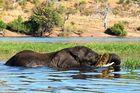 Elephant im Chobe River