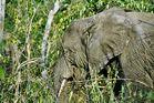 Elephant in hiding