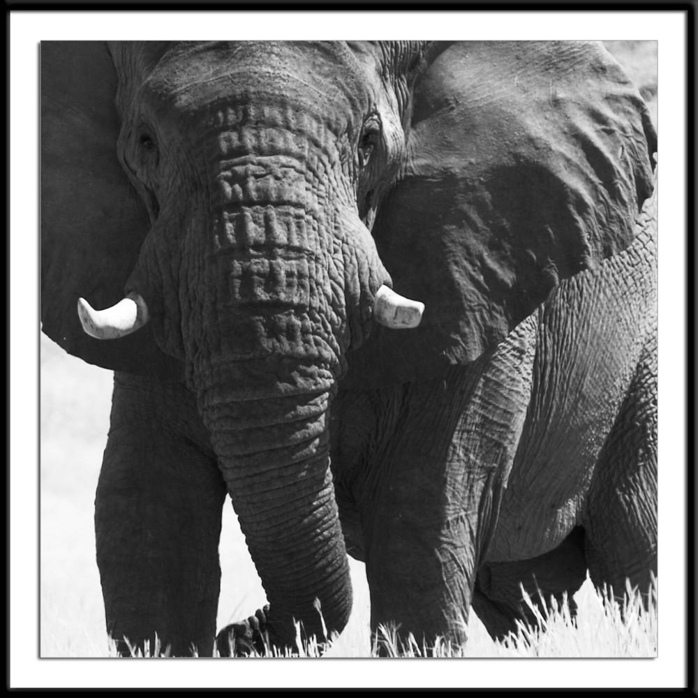 Elephant male