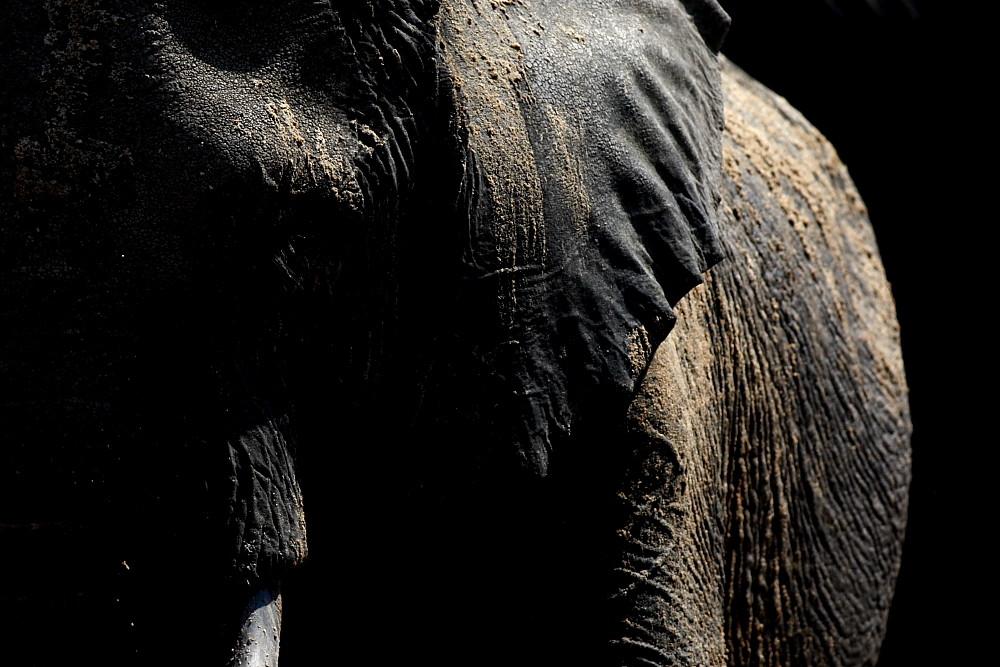 Elephant Porträt