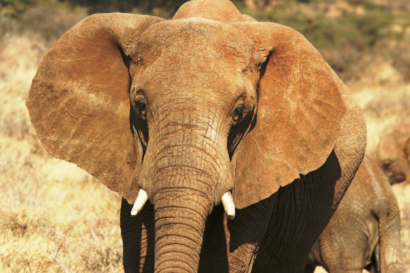 Eléphant - Samburu / Kenya - Force tranquille !
