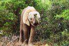 Elephanten Junges