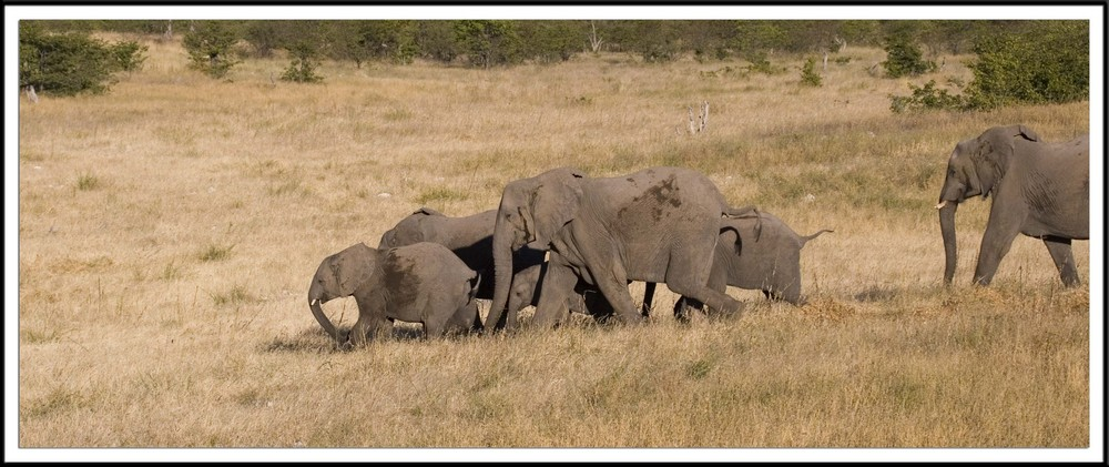 Elephants arrivant au trou d'eau (Namibie)