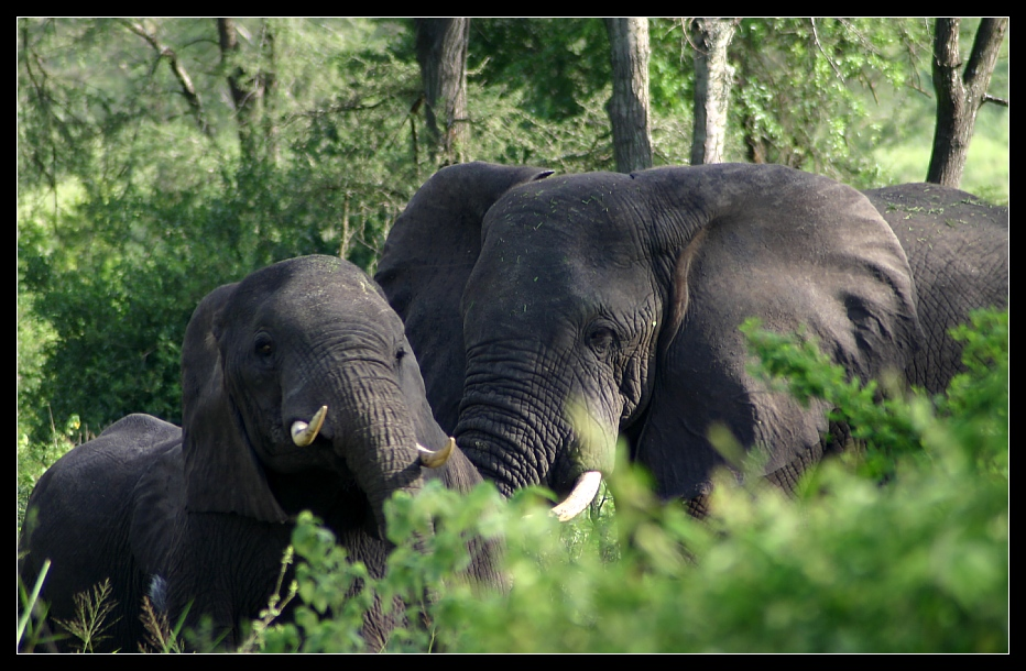 ... Elephants in Queen Elizabeth NP, Uganda ...