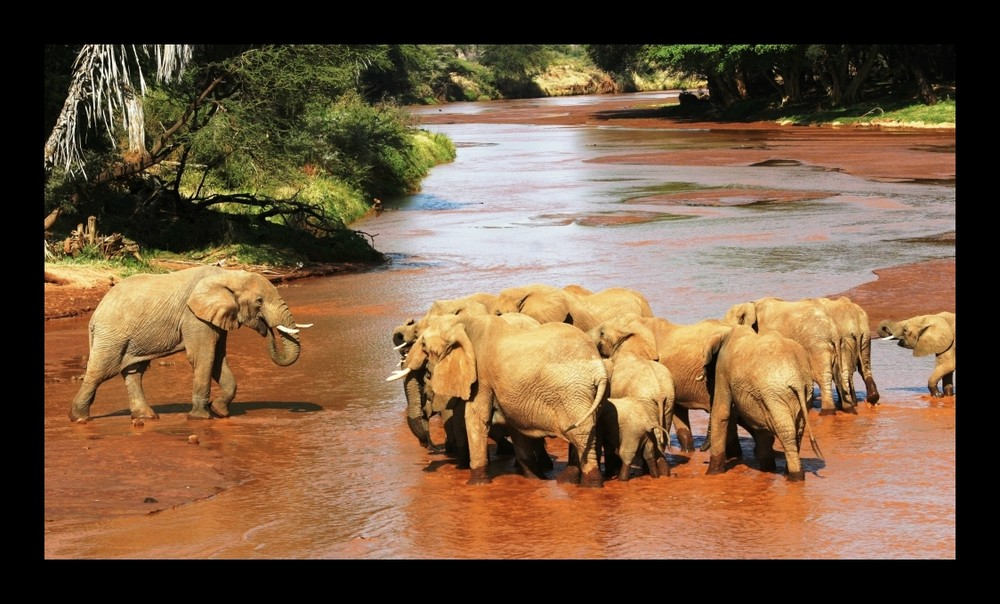 Eléphants - Samburu / Kenya - Vous ne passerez paaaaas !