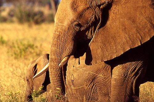 Eléphants Tarangire
