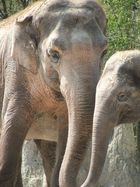 Elephants, Zurich zoo, Switzerland, 2007