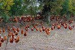 élevage de poules en libertée