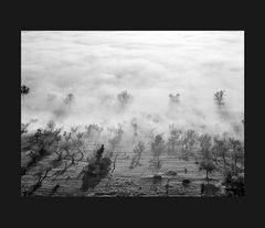 Elio Ciol - Nebbia nell'oliveto, Assisi 1958
