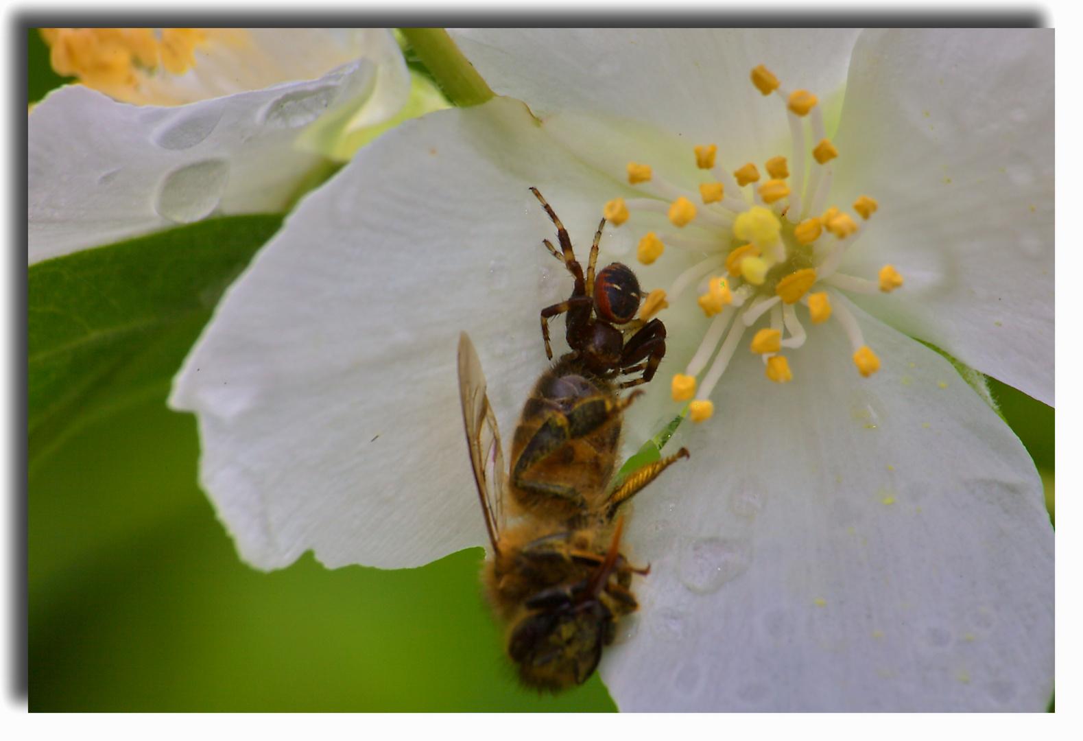 ELLE a pas hue de chance l abeille