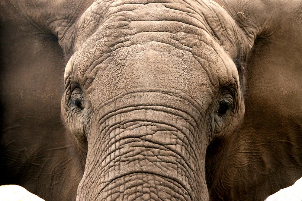 Elofant