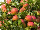 Elstar Apfel