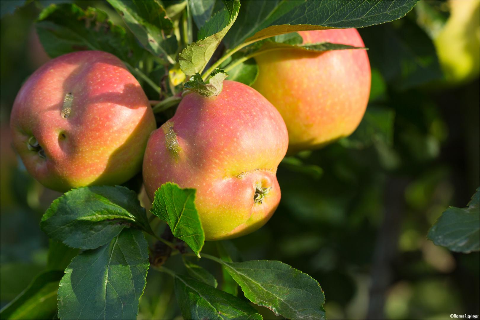 Elstar mit Schaden der Apfelsägewespe (Hoplocampa testudinea).