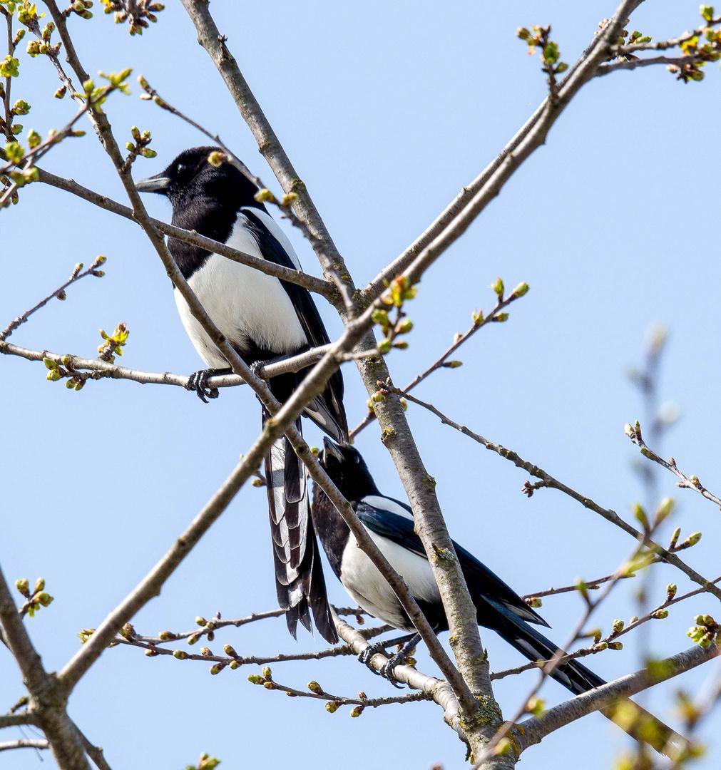 Elstern-Paar im Gebüsch