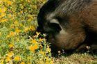 Elvis, also known as Piggy