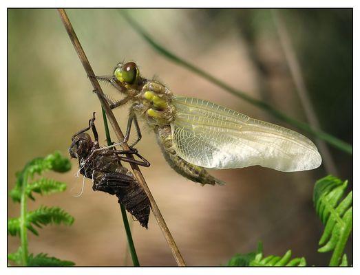 émergence de libellule
