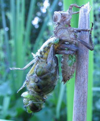 Emergence d'une libellule déprimée