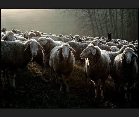 Emil und die Schafe .....