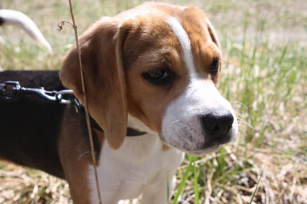 Emma - unsere Beagledame
