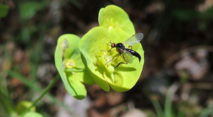 Empididiae Empis Nigritarsis