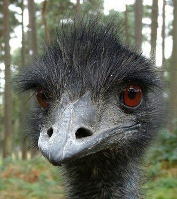 Emu - Blick