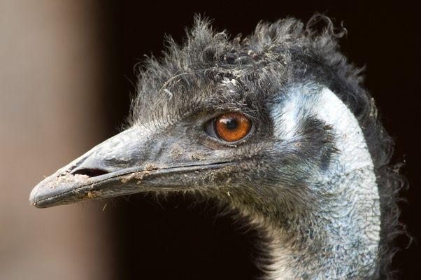Emu-Dame