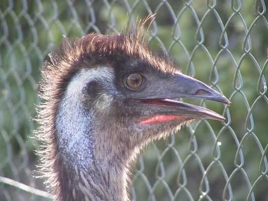 Emu im Garten