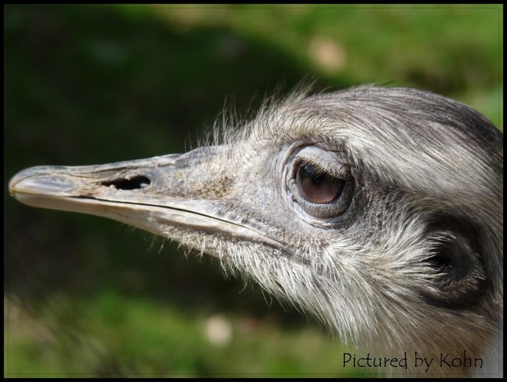 Emu im Park