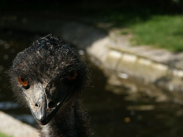 Emu im wet-look
