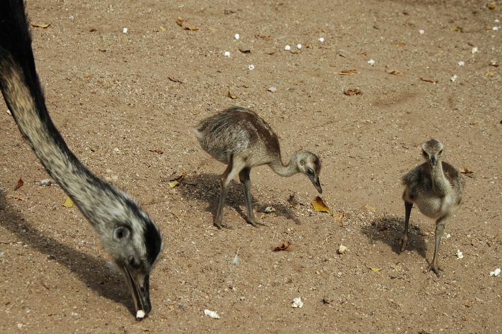 Emu-Mama mit Nachwuchs
