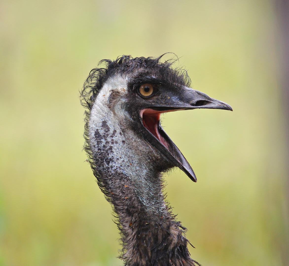 Emu vor dem Zelt