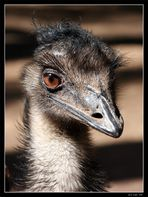 Emus sind immer neugierig