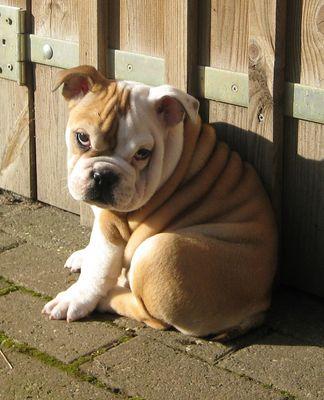 Emya the Bulldog