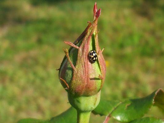 en attendant une rose