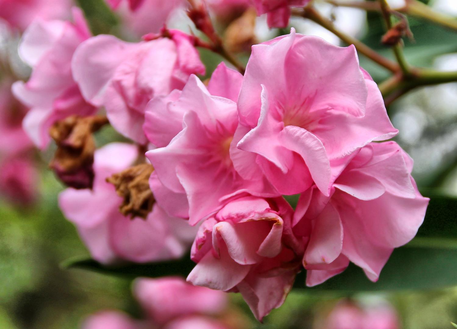 En flor rosa