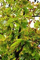 En Keschdebaum im Spätherbscht, so eifach !