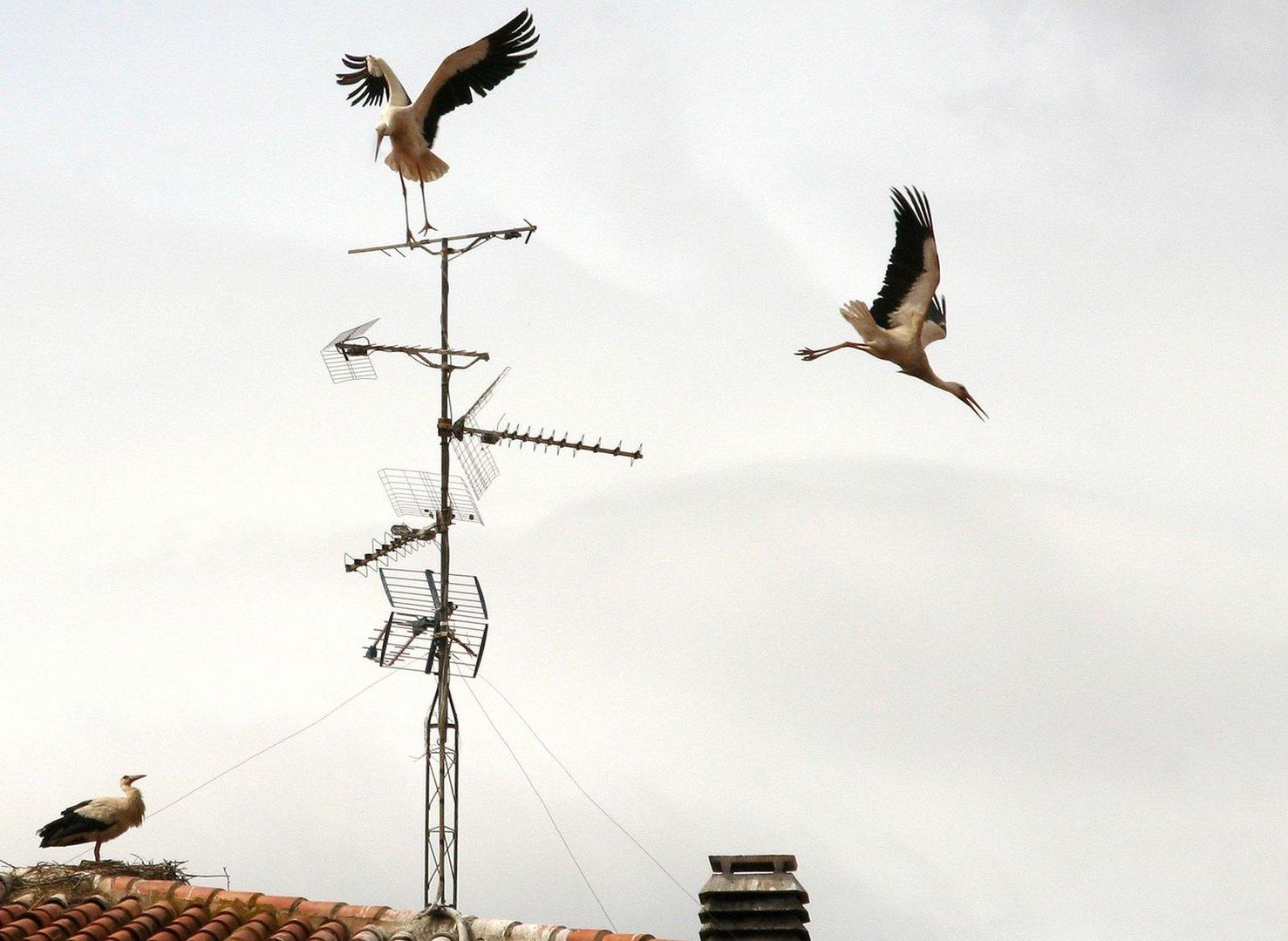 En los tejados de Alfaro (La Rioja), cada cigüeña trata de construir y proteger su nido