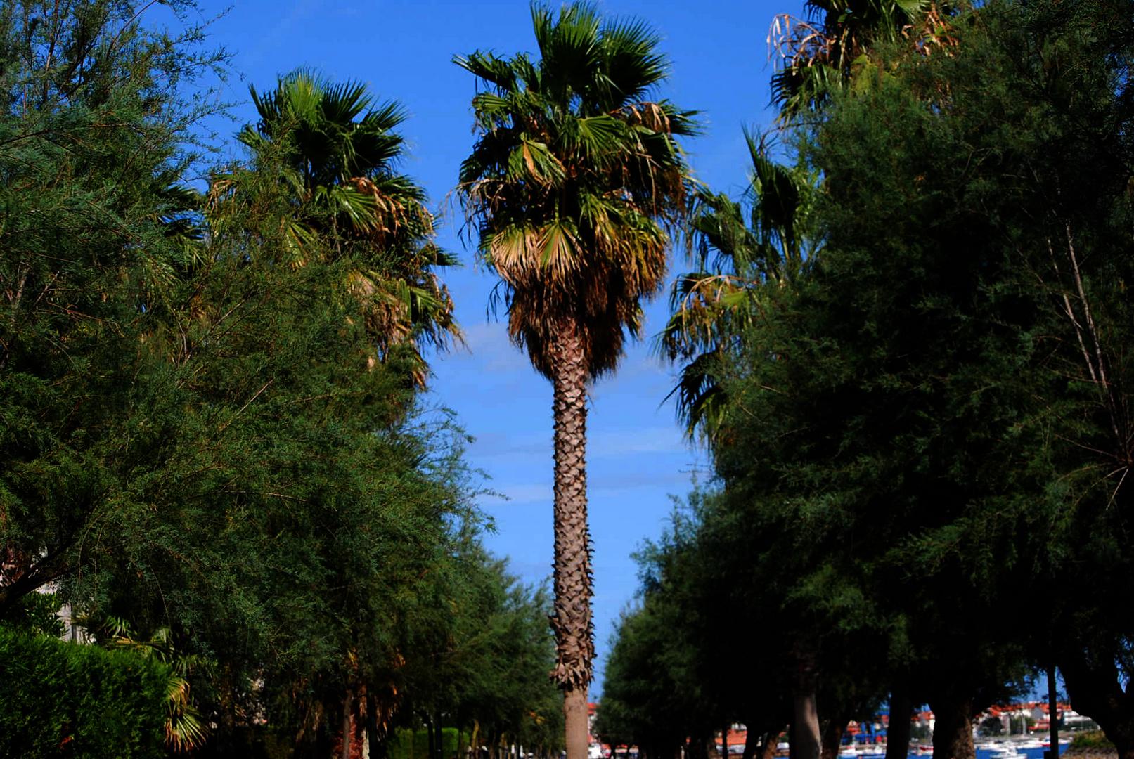 En medio la palmera