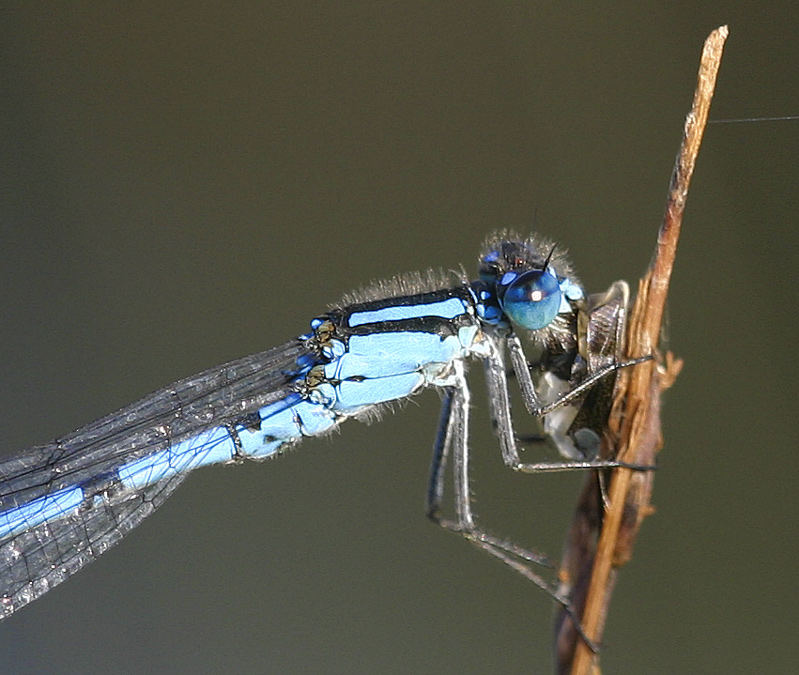 Enallagma cyathigerum male eating - Common Blue Damselfly male eating