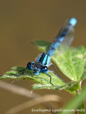 Enallagma cyathigerum mâle