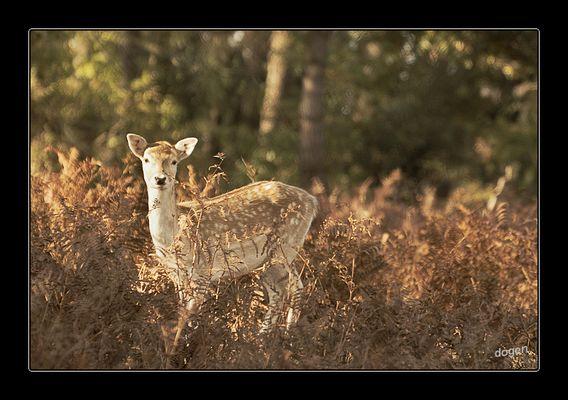Encore Bambi