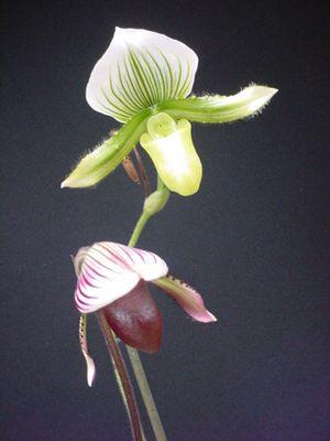encore de la famille des orchidées...