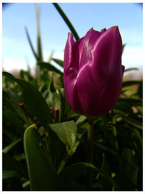 encore une tulipe