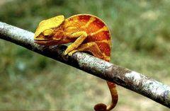 Endemisch in Madagaskar (1)