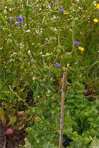 Endivie (Cichorium endivia)....
