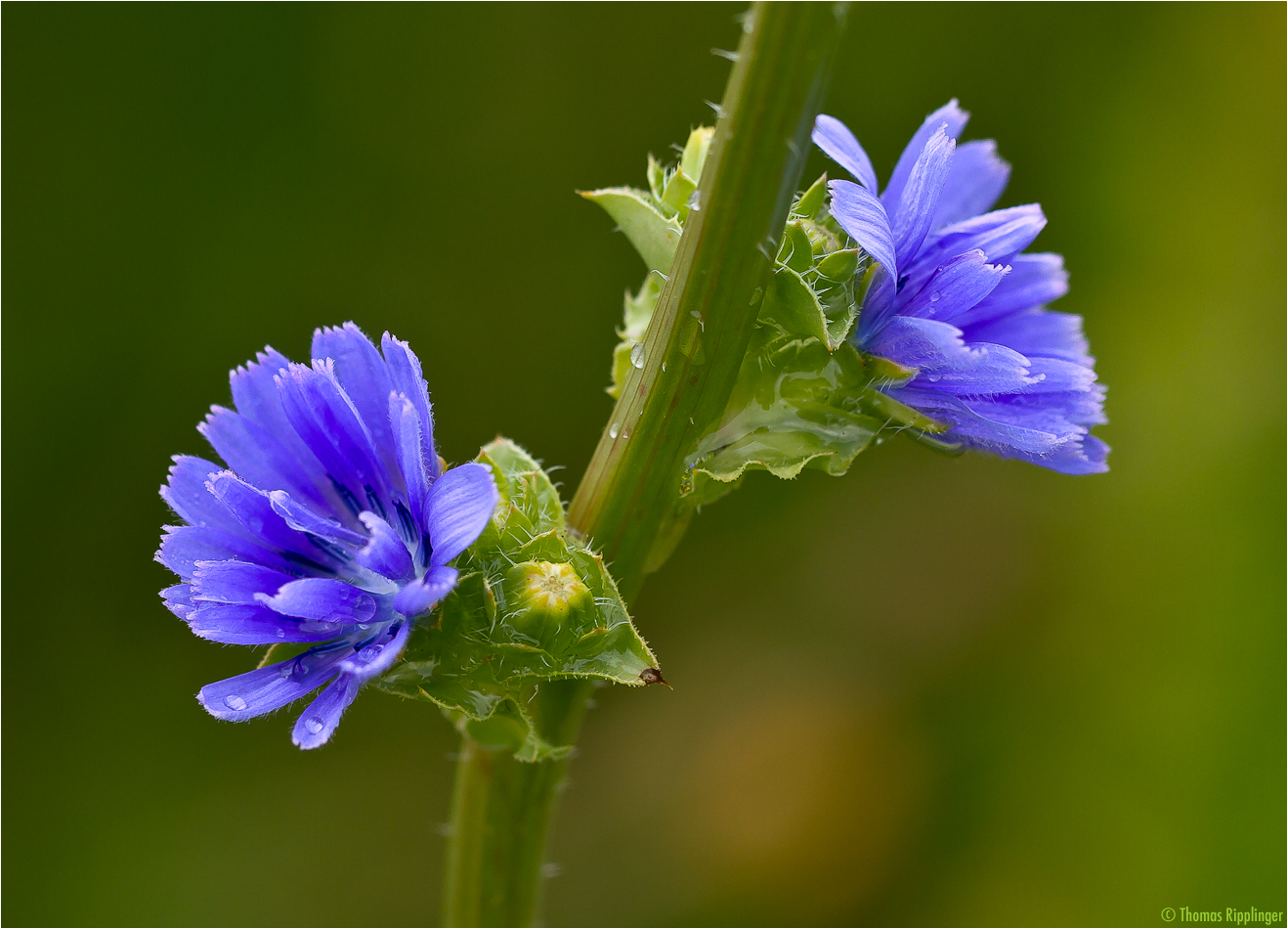 Endivie (Cichorium endivia)