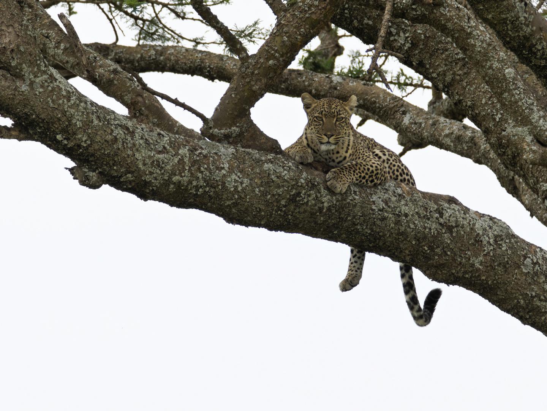 endlich ein Leopard ...!